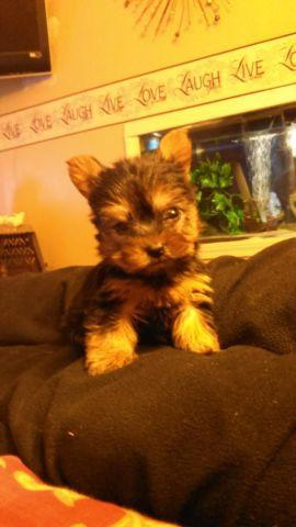Very Tiny Teacup Yorkie Puppy For Sale In Lima Ohio Classified