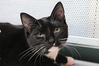 Vespa Domestic Shorthair Young Male