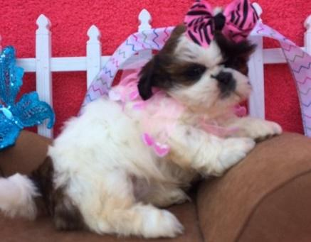 Vfgbgedhb Good With Cats And Dogs Loves Children Shih Tzu Puppies