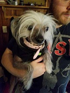 Vida Chinese Crested Adult Female