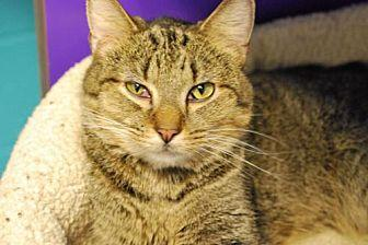 Viking Domestic Shorthair Adult Male