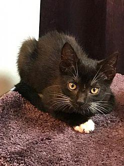 Vinnie Domestic Shorthair Young Male