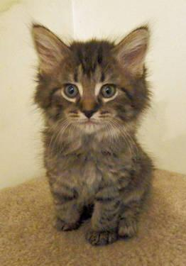 Violet Adorable Maine Coon Mix Dlh Female Tabby Kitten