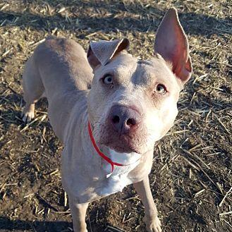 Violet Pit Bull Terrier Adult Female