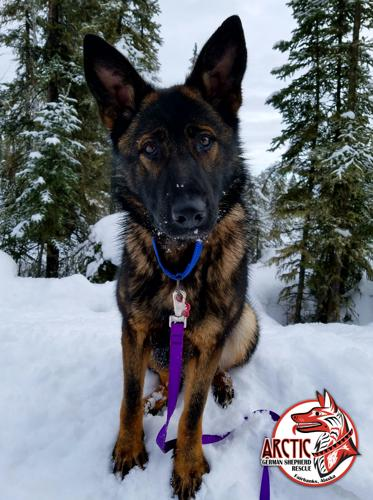 german shepherd rescue alaska vixen german shepherd dog adult adoption rescue for 4163