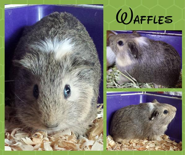 Waffles Guinea Pig Baby Adoption Rescue Female Male