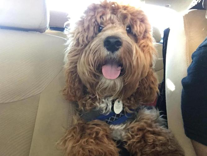 Waiting List Open! F1 Cockapoo's