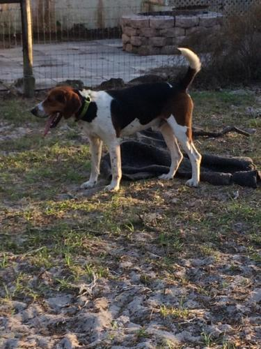 Walker July Hound Puppies For In