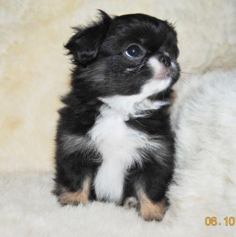 japanese chin shih tzu quot wallace is adorable quot japanese chin shih tzu mix for 7862