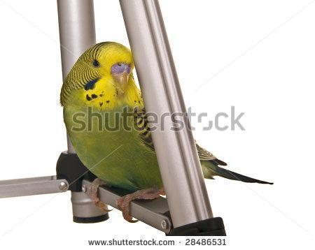 wanted 6 or 7 mon  old olive green male parakeet in beaver county