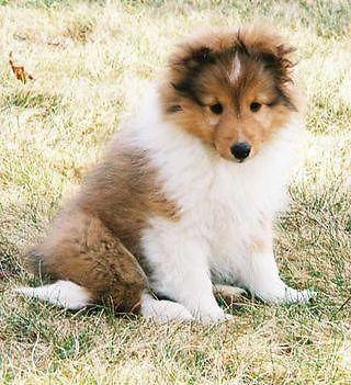 Sheltie Puppy For Sale In Ohio Classifieds Buy And Sell In Ohio