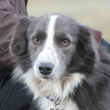 Pics photos hybrid border collie australian shepherd mix puppy at 3