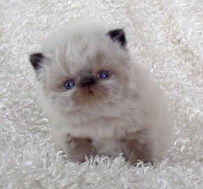 Wanted Longhair kitten/ persian, himalayan, ragdoll