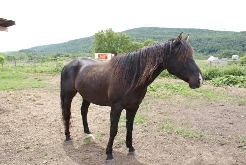 Warmblood - Stormy - Large - Adult - Male - Horse