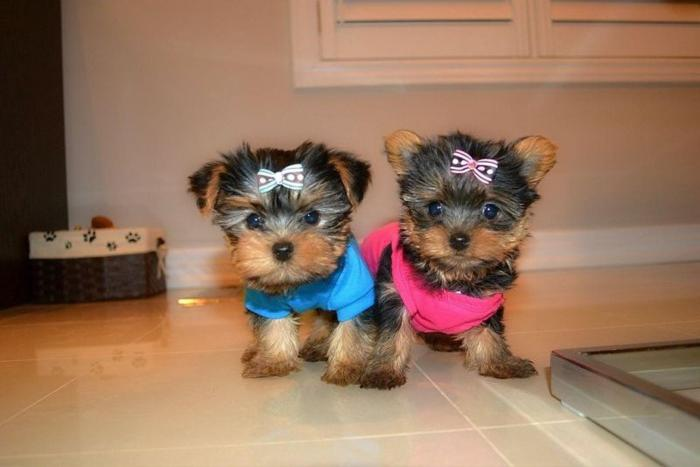 Teacup Yorkie Puppies For Sale In South Carolina Classifieds Buy