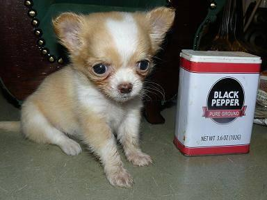 we have a very small chihuahua we call mayble 12 weeks