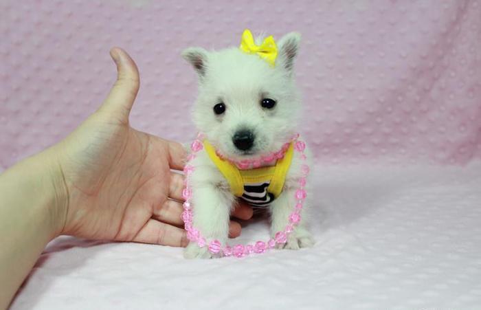 Weeranian Puppies For Sale In Las Vegas For Sale In Las Vegas
