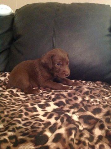 Weimardoodles Pups For Sale For Sale In Tyler Texas