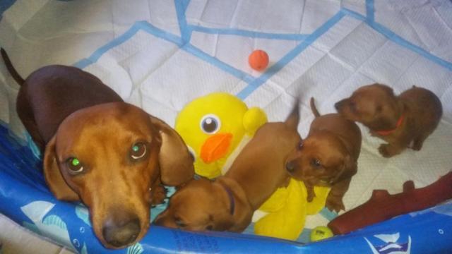 Puppies Houston Tx Dachshund