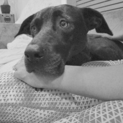 Well-behaved, gentle Female black Lab mix for Adoption