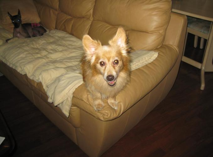 Welsh Corgi/Pom mix male dog