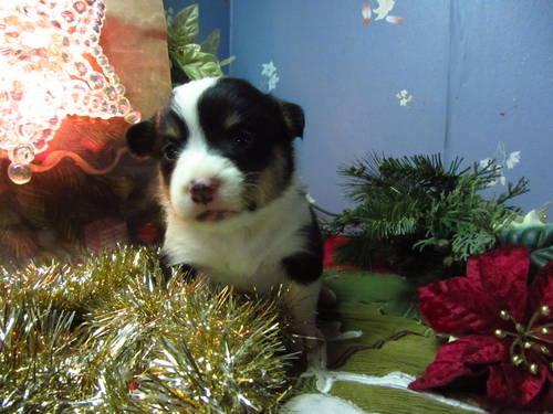 Welsh Corgi Puppies READY FOR CHRISTMAS!!!