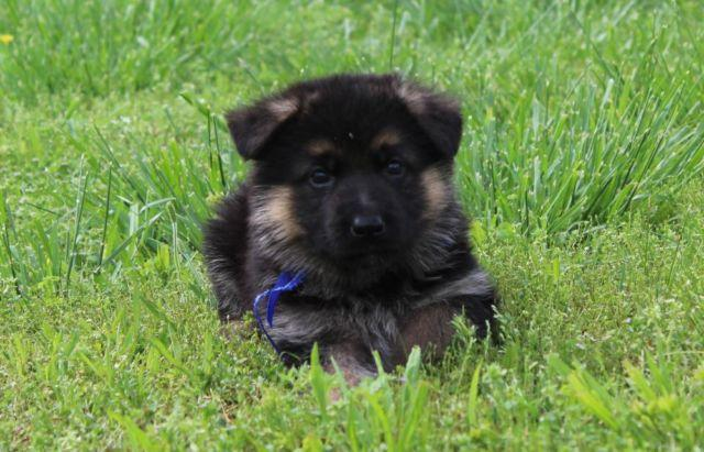 West German Shepherd Puppies For Sale In Greenbrier
