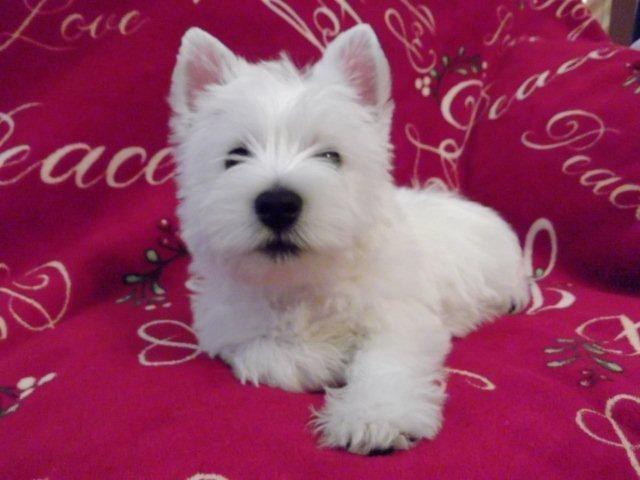 West Highland Terrier Puppies For