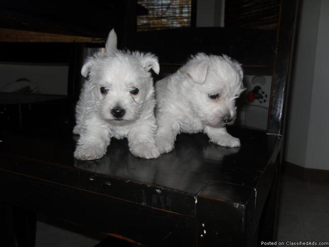 West Highland Terrier Pups for Sale in Auburn, Kansas