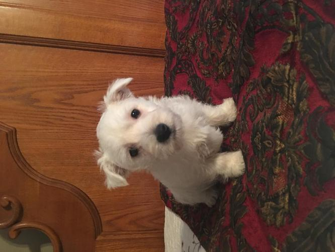West Highland White Terrier For Sale In Somerset Kentucky