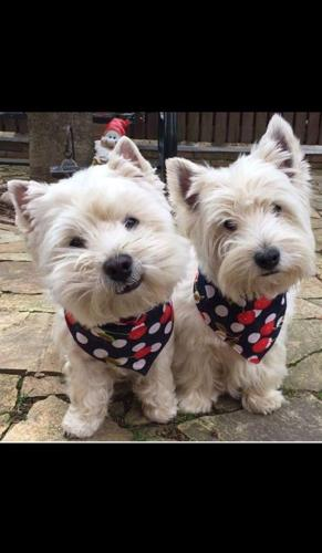 West Highland White Terrier Puppy for Sale - Adoption