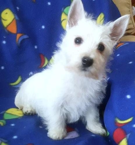 West Highland White Terrier Puppy for Sale - Adoption,