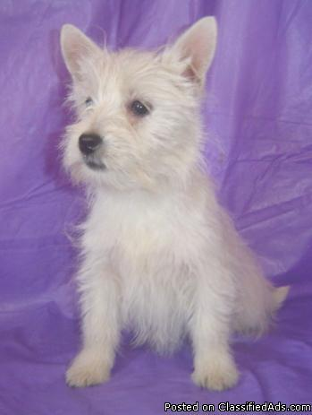 West Highland White Terrier Pups for Sale in Mansfield