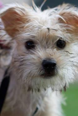 West Highland White Terrier Westie - Bia~adopted!!!! -