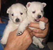 Westie 3/4 West Highland Terrier Puppies 2 pups