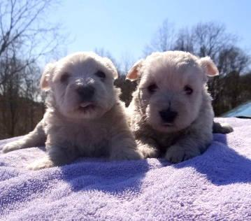 Westie Puppies Now Ready 2 Males For Sale In Fort Payne