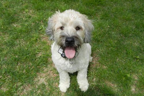 Wheaten Terrier/Poodle mix - WHOODLE Puppies for Sale in ...