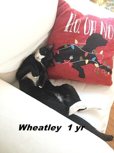 Wheatley Domestic Short Hair Young - Adoption, Rescue