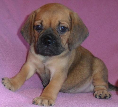 Whimpers, Female Puggle Puppy for sale in Ohio