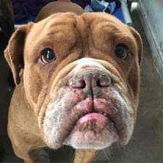 Whiskey English Bulldog Young Male