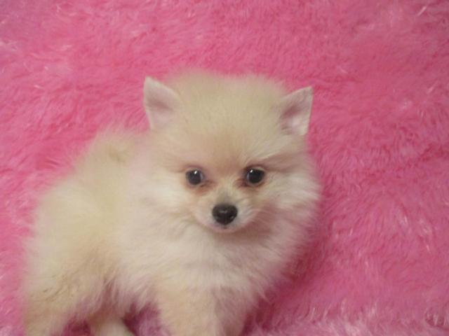 White an Cream Teacup Pomeranian 4-months old CkC