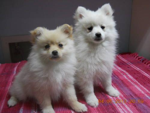 White Teacup Pomeranian Puppies For Sale In Texas Classifieds Buy