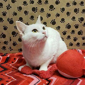 WHITE, Catalina (Momma) Domestic Shorthair Young Female