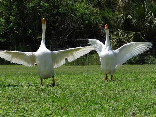 White Chinese Geese for sale or trade