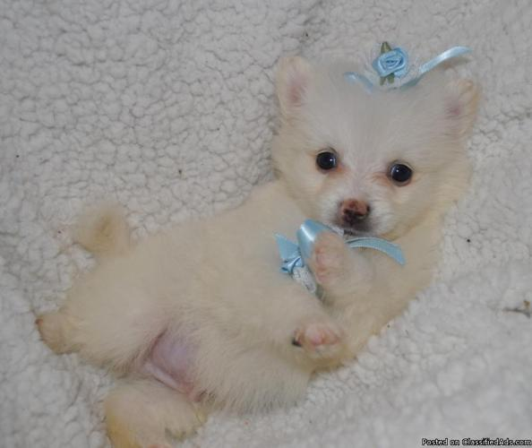 Red Sable Pomeranian Puppies For Sale
