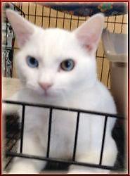 White Domestic Short hair Older Kitten Available for