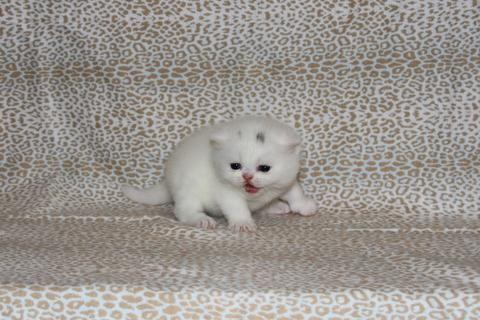 White Exotic Short Hair kitten