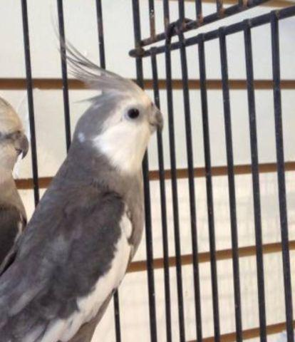 White Face Cockatiel For Sale In Tampa Florida Classified