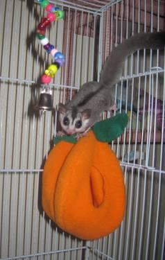 White Face Sugar Glider