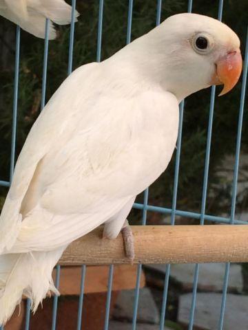 Love Birds Images White